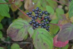 a close up of a bunch of berries