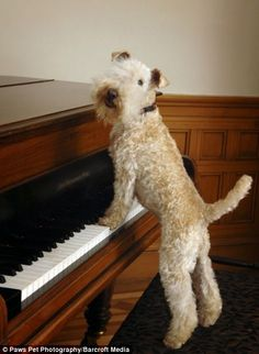 A Lakeland Terrier plays the piano. Rowdy Dog, WFT, used to do that, too.