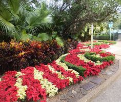 poinsettia bed2