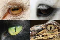 An analysis of 214 species suggests a link between pupil shape and an animal's ecological niche as a hunter or an animal concerned about being hunted.