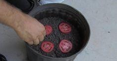 Si facile...Avez-vous déjà pensé à planter des tomates ? Avec cette méthode, vous pouvez facilement et rapidement faire pousser les vôtres. Et le mieux dans tout ça, c'est que c'est aussi facile que de garnir une pizza.