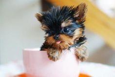 teacup puppy :)