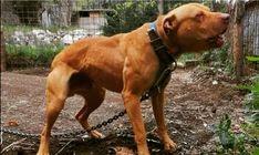 Pit Dog, American Pitbull, Dog Games, Pit Bulls, Best Dogs, 4x4, Shape, Animals, Pet Dogs
