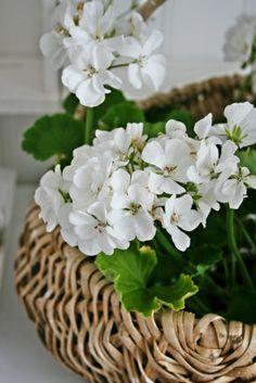 White Geraniums-I love geraniums. I have them every year  ᘡℓvᘠ❉ღϠ₡ღ✻↞❁✦彡●⊱❊⊰✦❁ ڿڰۣ❁ ℓα-ℓα-ℓα вσηηє νιє ♡༺✿༻♡·✳︎· ❀‿ ❀ ·✳︎· TH Sep 29, 2016 ✨ gυяυ ✤ॐ ✧⚜✧ ❦♥⭐♢∘❃♦♡❊ нανє α ηι¢є ∂αу ❊ღ༺✿༻✨♥♫ ~*~ ♪ ♥✫❁✦⊱❊⊰●彡✦❁↠ ஜℓvஜ