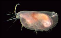 Crustacea - Classe Ostracoda, Subclasse Myodocopa