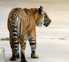 This tiger is quite old... I love the markings.