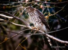 Juvenile Hawk by  DJ Pettitt