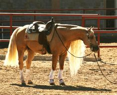 Whizmo - Quarter Horse, Show Horse Gallery, A Different Horse is Featured Every Day*
