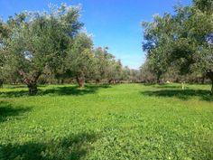 Ariston Olive Grove, spring