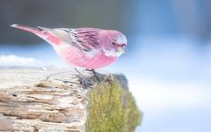 This pink bird is called the rosefinch and it looks like cotton candy in the snow https://www.facebook.com/MesmerisingNature/photos/a.1687343581549931.1073741828.1687342134883409/2115303605420591/?type=3&theater