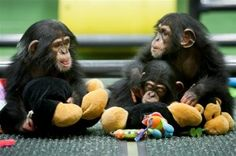 """Do you like your tax dollars being used to fund unnecessary animal abuse and torture? Researchers at Tulane determined lab rhesus monkeys showed """"abnormal behaviors"""" such as rocking or pacing back and forth while watching other monkeys being physically restrained and injected with anesthetic. Click the link for some more Real Ridiculous Research!"""