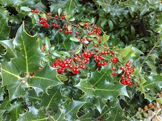 Moving holly bushes incorrectly can result in the holly losing its leaves or even dying. Read this article to learn more about how to transplant holly bushes and when is the best time to transplant a holly.