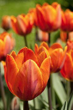 Tulipanes...una de mis flores favoritas.