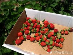 strawberry picking at Chiles Peach Orchard in Crozet, VA. So delicious!