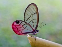blushing phantom butterfly - Google Search