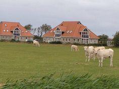 Amelander koeien