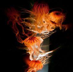 """Jellyfish Stream of Light.""  Shot hand held at the New England Aquarium."