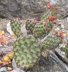 Opuntia stenopetala