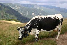 Vosges cow. France