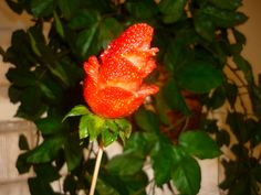 strawberry roses! Strawberry Roses, Fruit, Food, Meals