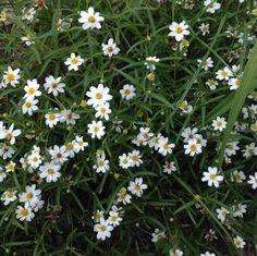2014 - My Blackfoot Daisy that's in my butterfly garden.
