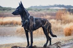 Top 10 Dogs in the World Small Dog Breeds, Small Dogs, Small Breed, Dutch Shepherd Dog, Horses, World, Animals, Top, Guard Dog