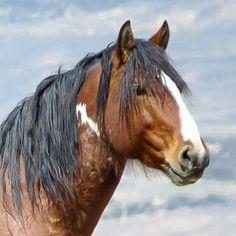 Eagle, Sand Wash Basin's stallion.  Photo by Christine Beaumont.