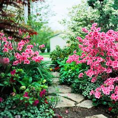 Its bright color burst is short-lived, but 'Pink Discovery' azalea's solid mass of flamboyant flowers provides a just-right transition from spring to summer bloomers: http://www.bhg.com/gardening/flowers/perennials/early-blooming-flowers/?socsrc=bhgpin032914azalea&page=20