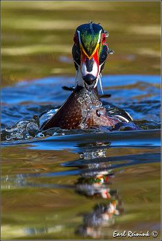 Wood Duck - emerging from down under | Flickr - Photo Sharing!