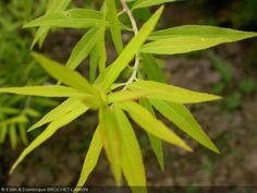 Spiraea thunbergii  'Aurea'   Floraison mars-avril    0.6 x 0.5