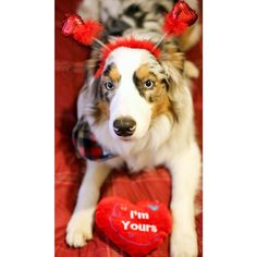 """Contest . Oli has reached 20k followers! To celebrate we are hosting a Valentines's Day themed contest; Pretty in Pink & Red! . Hosts: @oli_the_aussie_ @pdx.oregondogs @oakley_aussie @miniaussie.milo @goldens.unleashed @muffinthecavoodlegirl @littlecooperbear @tilliegrace  @arya_the_aussie @herotheaussie @aussie.atlas @bolt_the_aussie . Rules: . 1. MUST follow all hosts & vendors (Vendors listed below). 2. Post a new photo with the colors red or pink included with """"This is my entry for…"""