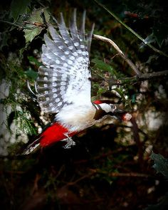 Husssss… by red R on Flickr.    Woodpecker