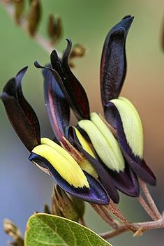 Black Coral Pea, I think Orchid  I am sure darling Batty, you know all about this one.