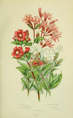 040-Ragged Robin, Red German Catchfly, Red Alpine Catchfly, White Campion - lychnis flos-cuculi, lychnis viscaria, lychnis alpina, lychnis vespertina, lychnis drurna   ...
