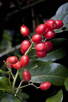 Australian Rainforest Fruit - Ganophyllum falcatum. Common Name - Scaly Ash. Sapindaceae | Flickr - © Xylopia