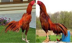 Ayam Juara: Foto dan Gambar Ayam Bangkok Super Berkelas dari T...