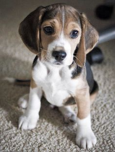 Bela the cute little 4 month old beagle i just trained. I could help you too, beagle training Bela the cute little 4 month old beagle i just trained. Cute Beagles, Cute Puppies, Dogs And Puppies, Cute Baby Animals, Animals And Pets, Pet Dogs, Dog Cat, Doggies, Friendly Dog Breeds