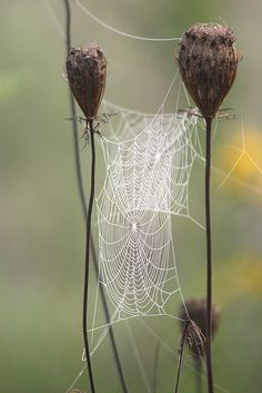 Seed heads and spider web covered with dew