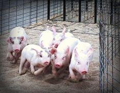 Pig Commute: Quit Hogging the left lane.