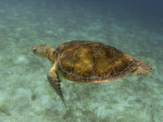 Gorgeous Turtle: Tobago Cays, St Vincent and The Grenadines