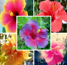 100 Giant Hibiscus Flower Seeds Hardy ,Mix Color, DIY Home Garden potted or yard flower plant,Free Shipping #>=#>=#>=#>=#> Click on the pin to check out discount price, color, size, shipping, etc. Save and like it!