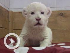 Serbian white lion cub tries to roar