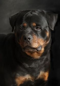 More About The Rottweiler Puppies Size Big Dogs, Cute Dogs, Dogs And Puppies, Chihuahua Dogs, Doggies, Corgi Puppies, Beautiful Dogs, Animals Beautiful, Cute Animals