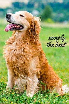 cool A review and guide to the beautiful, gentle, Golden Retriever breed of dog Hope ...