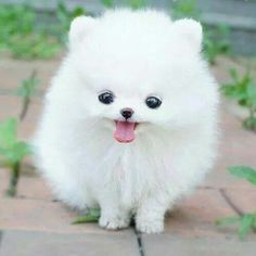 A baby Pomeranian puppy.