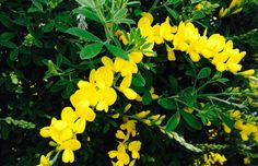 Cytisus racemosus Plants, Plant, Planets