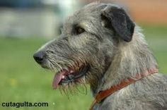 Care Instructions for Irish Wolfhounds
