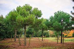 Pinus pinea - Stone pine