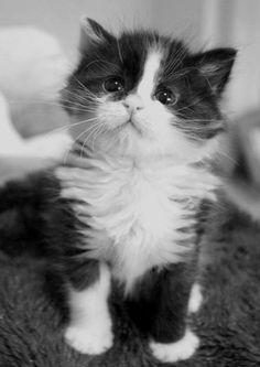 black & white kitten.