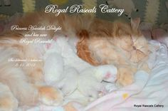 "Royal Rascals Princess ""Havalah"" Delight with her new babies!  http://www.royalrascalscattery.com/id2.html"
